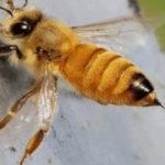 bijensteek_bijengif