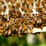 raathoning_bijen